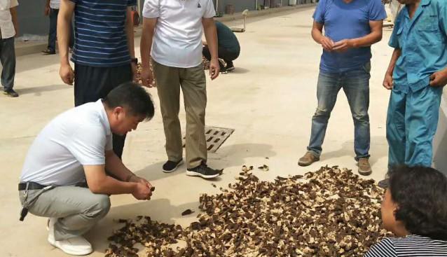 河南:九龙农业科技有限公司大量收购羊肚菌