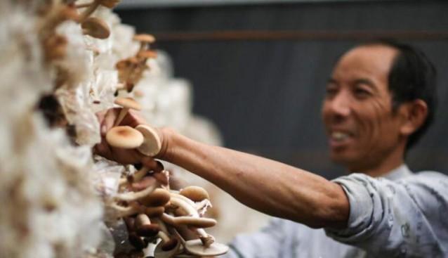 贵州:玉屏县食用菌采摘忙