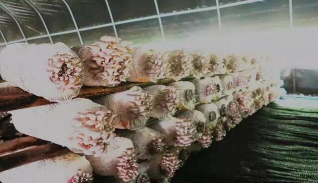 贵州:桐梓县小小食用菌 演绎大产业