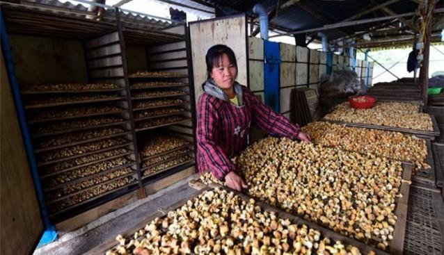 贵州:丹寨县姬松茸迎来丰收季 食用菌基地工人忙采摘