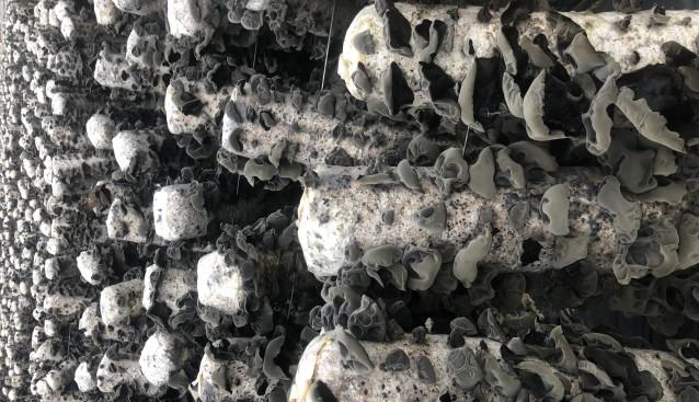 贵州:德江县堰塘乡食用菌基地黑木耳大量上市