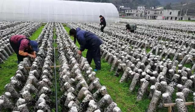 贵州:思南县13万棒黑木耳搭起村民增收致富之桥