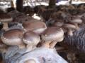 玉米秆袋栽香菇单向出菇法