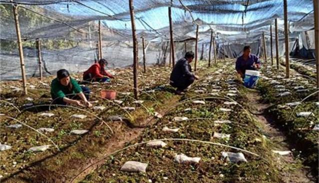 云南:华坪县羊肚菌大量上市(图片新闻)