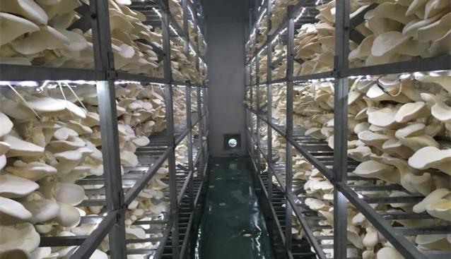 河南:世纪香全力推进白灵菇种质资源研发新项目