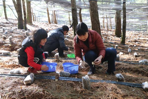 云南:巧家县林下仿野生培育羊肚菌试验成功
