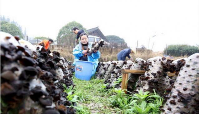 广西:三江食用菌种植助力脱贫