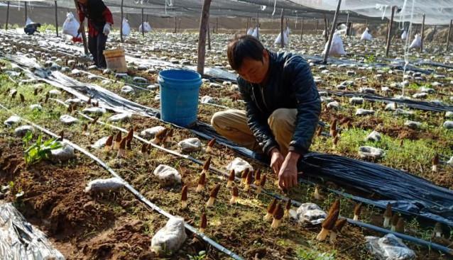 云南:丽江市华坪县嘎佐村实施羊肚菌产业扶贫