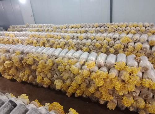 云南:曲靖市工厂化榆黄蘑大量上市