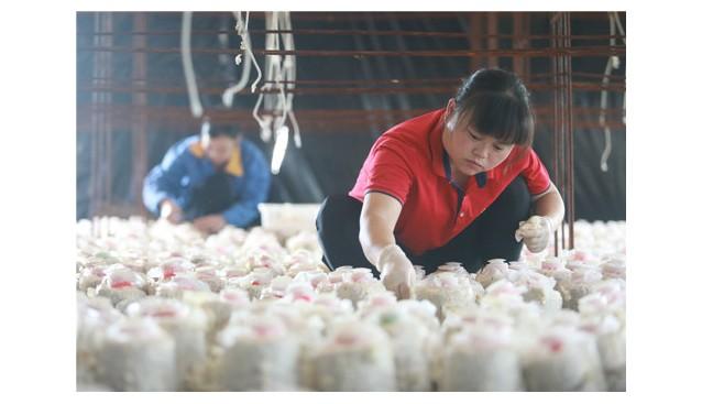 贵州:玉屏2万菌棒玉木耳进入采摘期,日采摘量达1吨