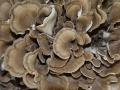 栗蘑如何進行種植與養護?