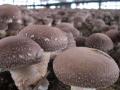 香菇立栽变地栽 节本又增