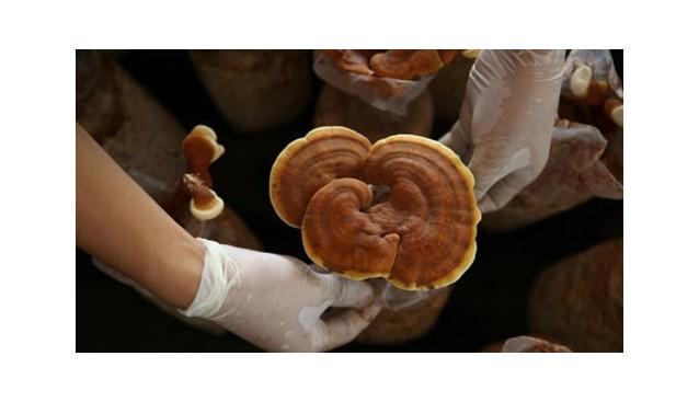 贵州:玉屏县食用灵芝产业年产值达2亿元