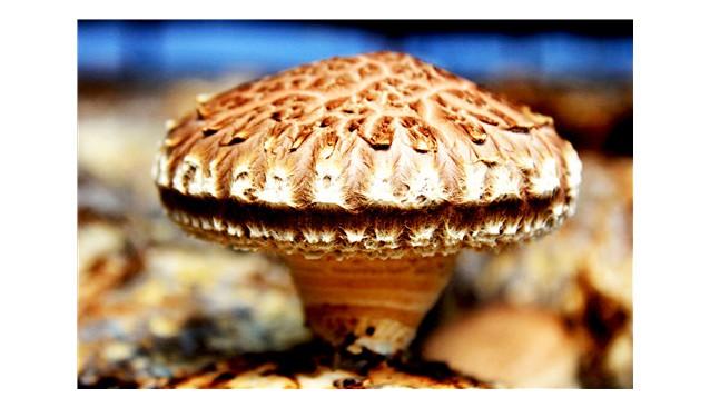 平泉市(食用菌)被国家列入100个区域性良种繁育基地县(场)项目建设