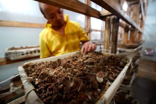 湘产鲍鱼菇零售价24元每公斤 深受国内外市场欢迎