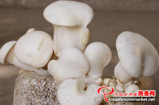 白灵菇的神秘传说,来自印度的神灵之菇