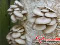 影响食用菌孢子萌发和菌丝生长的环境因素有哪些?