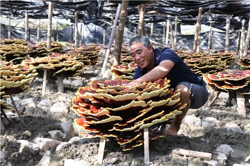 贵州:黎平灵芝获丰收 村民采收忙