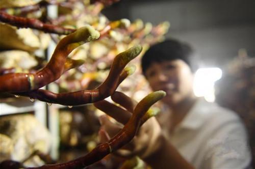福建:浦城县发展灵芝产业助农增收