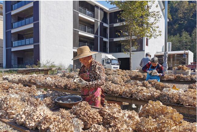 浙江:庆元灰树花迎来出菇季  鲜灰树花每斤12元左右