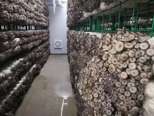 平菇家族又添新成员 可实现工厂化栽培