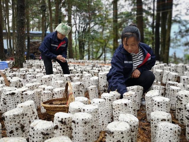 贵州剑河县:食用菌撑起致富路