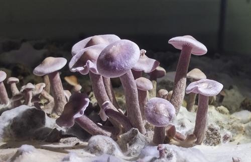 喜報!韓國首次成功開發紫丁香蘑人工箱式栽培