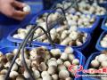 棉籽殼栽培草菇如何進行發菌管理?