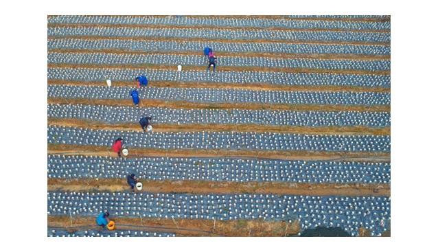 江西泰和县积极发展黑木耳特色种植扶贫产业