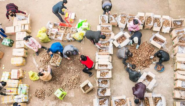 贵州毕节:天麻喜获丰收 农民增收致富忙