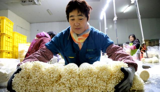 山东:金针菇生产旺 农民增收忙