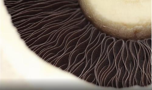 美国食用菌协会计划投资150万美元用于六大食用菌研究项目