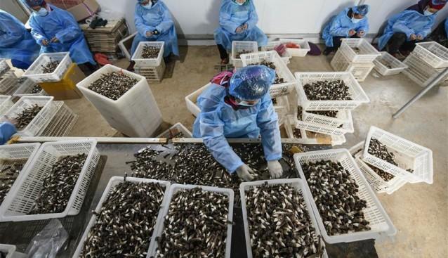 山东枣庄:黑皮鸡枞菌助农开启致富门