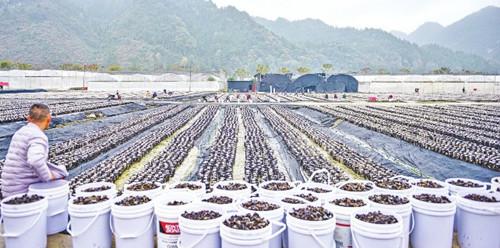 贵州印江:菌香四溢增收路