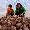 河南:朵朵香菇撑起致富美梦