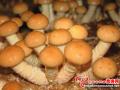 滑子菇出菇期注意事项及采收后的管理