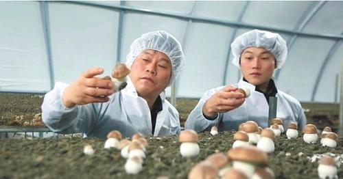韓國:濟州漢拿山姬松茸栽培火熱進行中