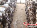 北方冬季平菇的选种以及栽培技术要点