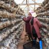贵州榕江:食用菌为农铺就脱贫增收路