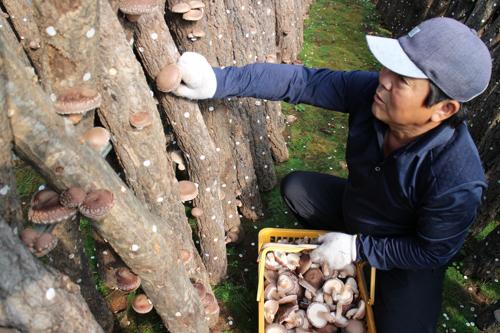 韩国:永同郡香菇闻名全球 香菇多糖成分受关注