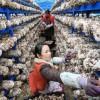 """广西:香菇丰收农民致富忙 产品远销""""北上广"""""""