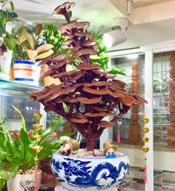 越南春节将至 灵芝盆景供不应求