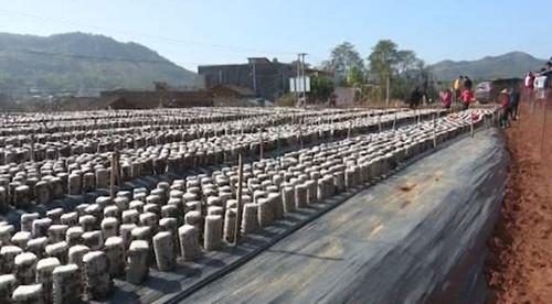 广东:黑木耳喜获丰收 农民增收有新路