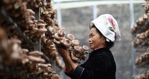 贵州台江:香菇产业为农民开辟增收路