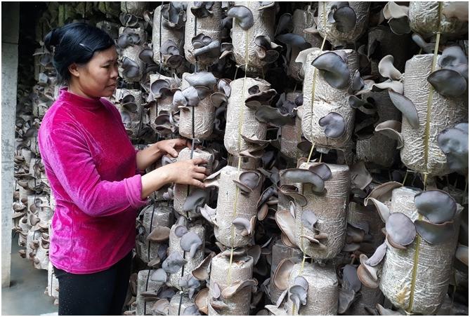 """越南:食用菌产业引领菇农走上发""""菌财""""的致富坦途"""