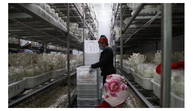 贵州剑河:防疫、食用菌生产两不误