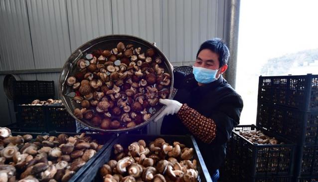 河南淅川:防疫和香菇生产两不误