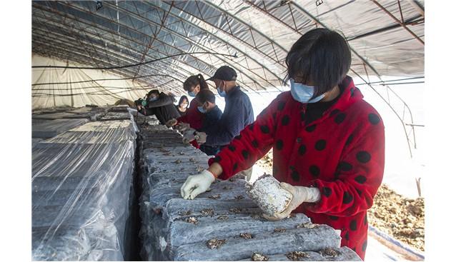 河南魯山:食用菌育種忙