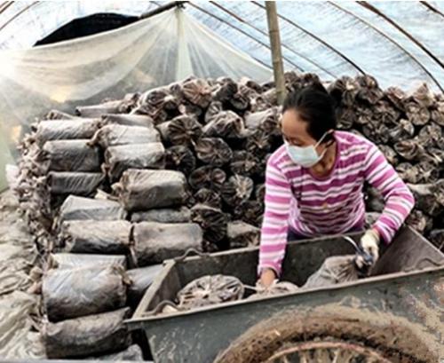 湖南通道县:农民抢抓农时栽培灵芝