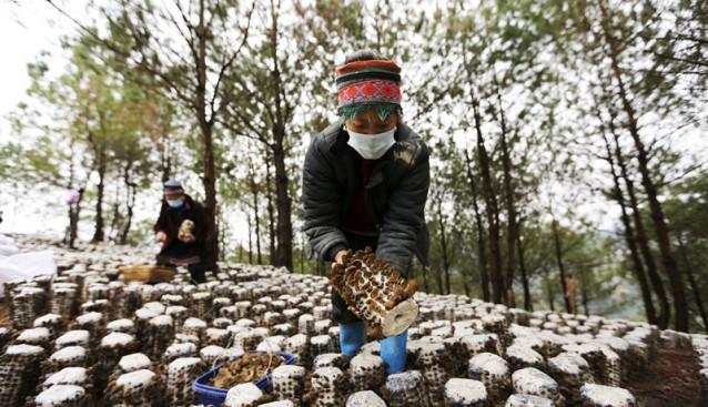 贵州剑河:林下食用菌  丰产效益高